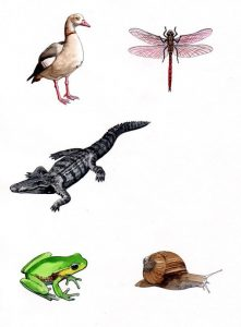 Duck_Dragonfly_Crocodile_Chameleon_snail_nature_animal_ mixed media_watercolour_painting_pencil_drawing_book_illustration 2
