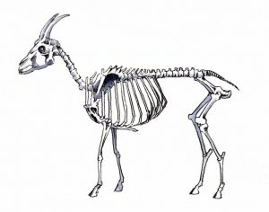 Goat_ nature_animal_watercolour_pencil_illustration_anatomy_bones_skeleton_mixed media 2