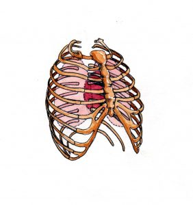 human_skeleton_anatomical_thorax_chest_mixed media_watercolour_painting_pencil_drawing_book_illustration 2