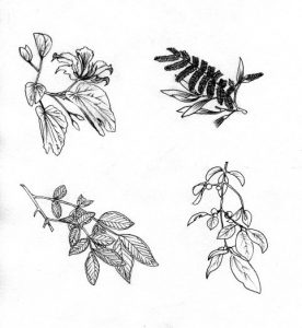 leaves_seeds_plants_propagation_nature_flora_mixed media_black and white_pencil_drawing_book_illustration 2