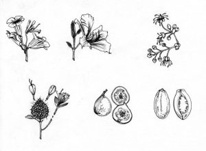 seeds_plants_propagation_nature_flora_mixed media_black and white_pencil_drawing_book_illustration 2