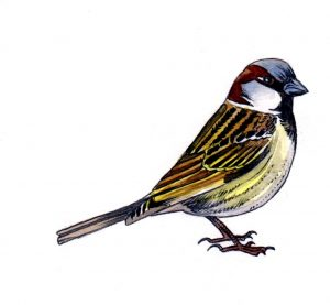 sparrow_bird_nature_animal_mixed media_watercolour_pencil_drawing_book_illustration 2