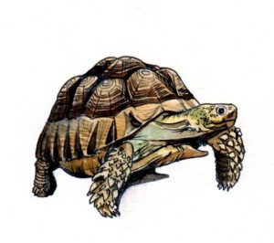 tortoise_nature_animal_reptiles_mixed media_watercolour_pencil_drawing_book_illustration 2