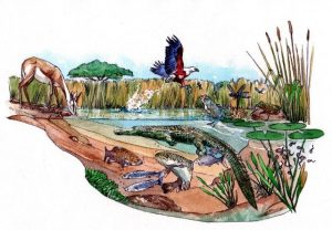 waterhole_crocodile_water_lifecycle_fisheagle fish_landscape_mixed media_watercolour_painting_pencil_drawing_book_illustration 3