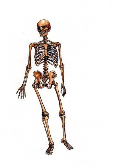 Human skeleton anatomical full body book 2