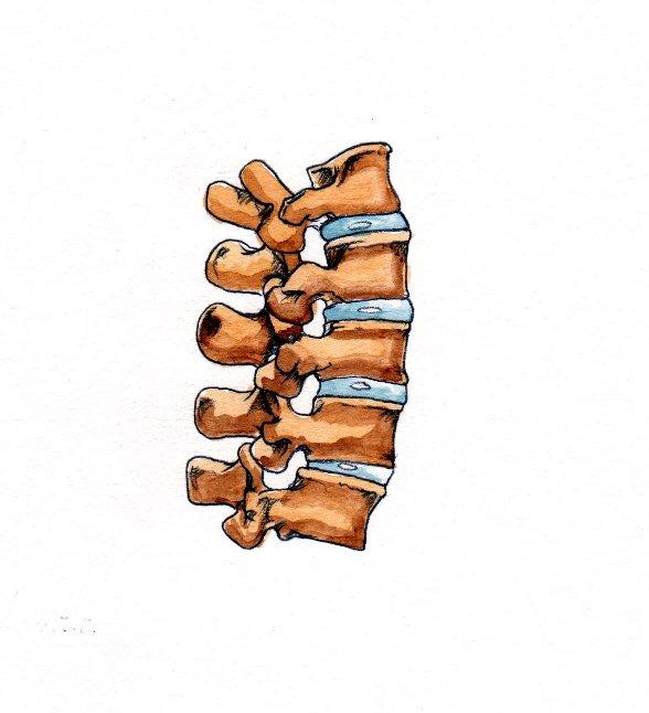 Human skeleton anatomical spine spinal column joints book 2